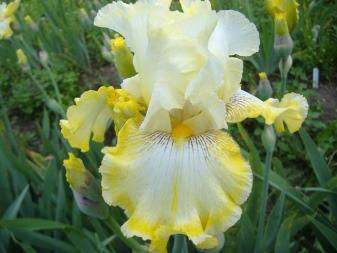 Ирисы — красивые фото, посадка и уход — цветы букеты
