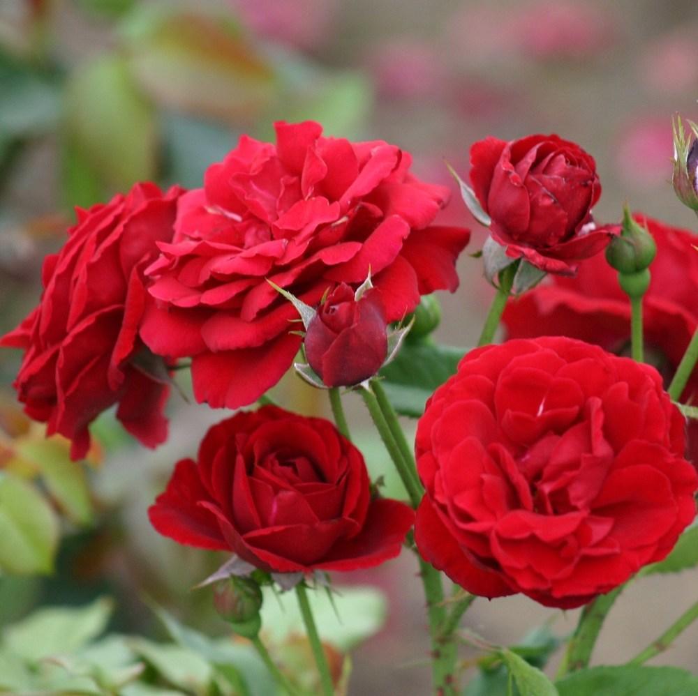 Роза рапсодия ин блю: описание розы синего цвета, правила выращивания и ухода за цветами