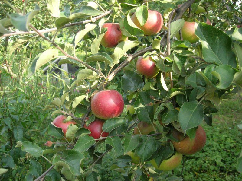 каштель яблоки описание
