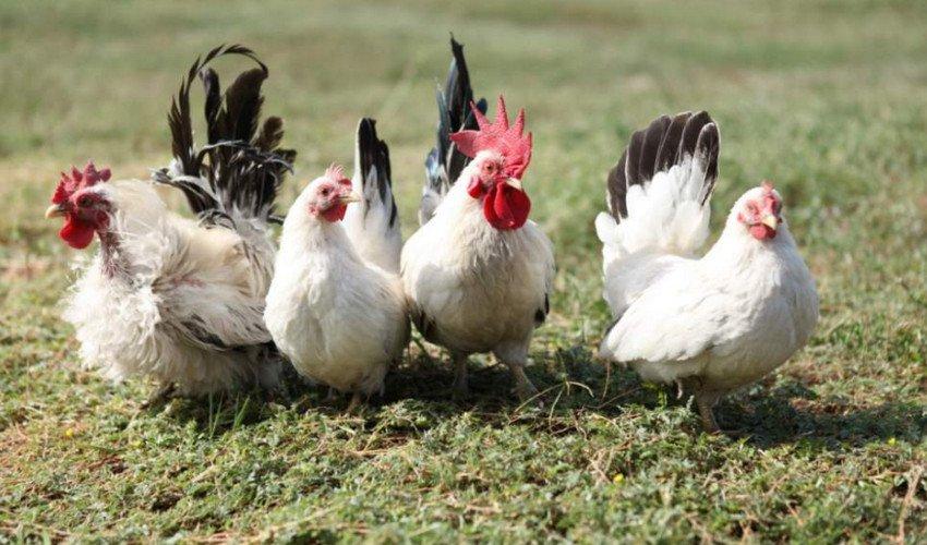 Комбикорм для кур — комбикорм для несушек своими руками