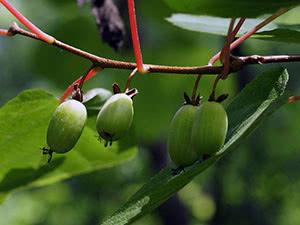 актиния растение
