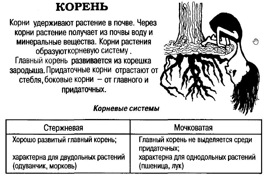 строение корневой системы