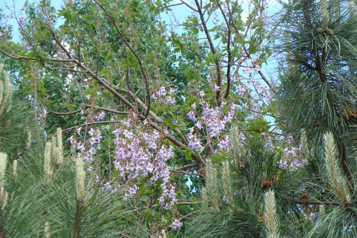 Павловния: как вырастить уникальное дерево с лавандово-голубыми цветками у себя в саду