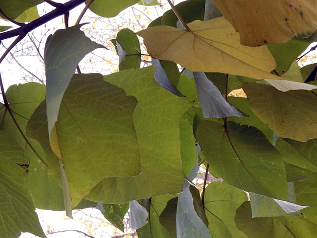 Дерево катальпа: правильная посадка и простой уход, различные заболевания и подкормка, способы размножения и выращивания, самые известные сорта.