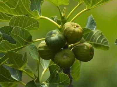 Как посадить инжир весной и осенью в открытый грунт: сроки и правила посадки саженцев