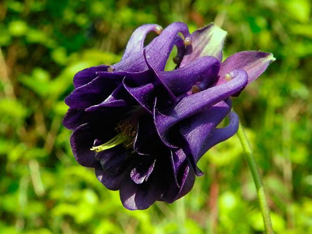 Аквилегия гибридная: особенности сортов и советы по выращиванию
