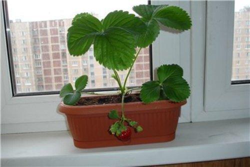 Выращиваем клубнику круглый год в домашних условиях (самые популярные сорта клубники)