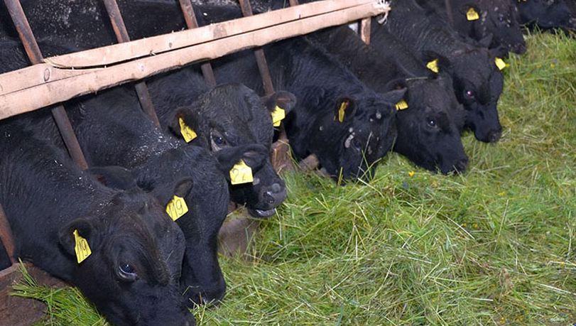 Преимущества и недостатки выращивания быков, основные правила, принципы составления рациона