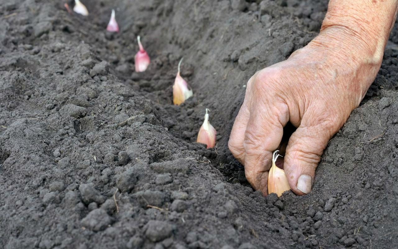 Выращивание озимого чеснока - посадка, подкормка, уход, сбор и хранение урожая