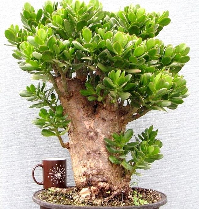 название денежного дерева комнатного растения