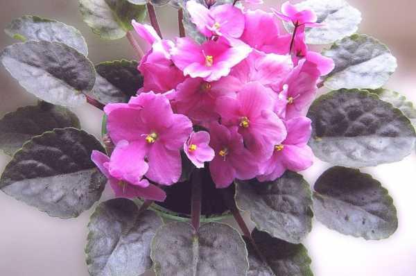 Цветы фиалки - как правильно ухаживать в домашних условиях