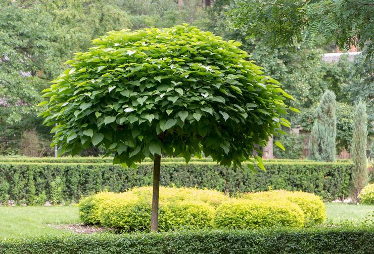 катальпа дерево фото