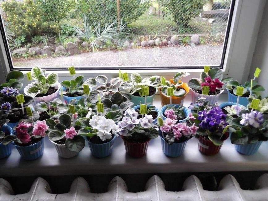 фиалка описание растения