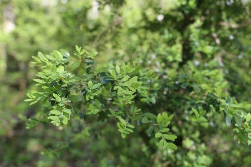 Самшит: посадка и уход в открытом грунте, размножение и пересадка, фото