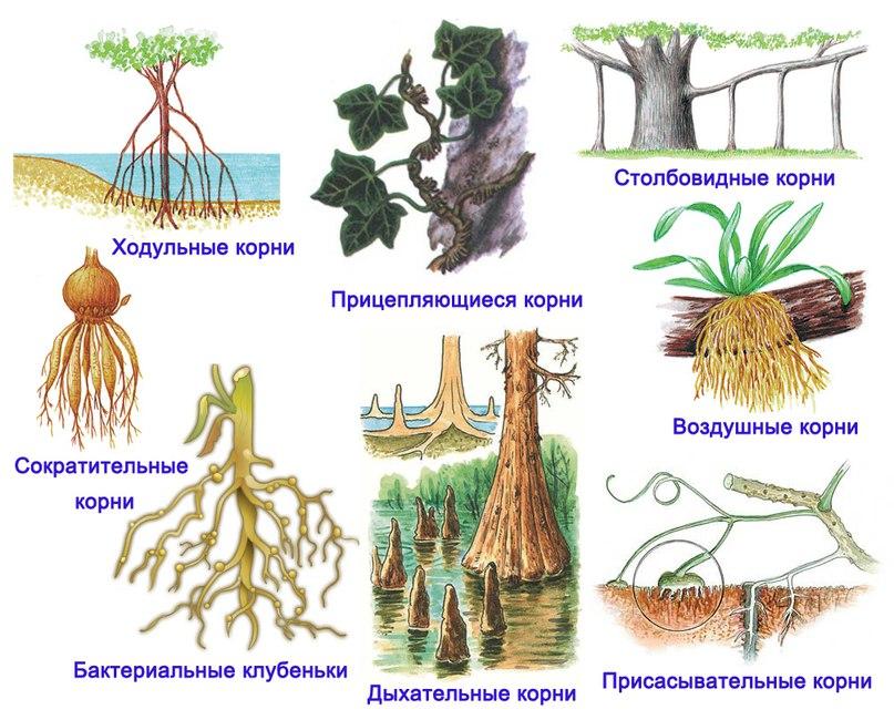 боковой корень