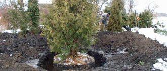когда лучше пересаживать деревья