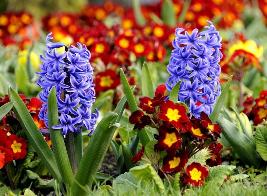 Луковичные цветы для сада: фото и названия