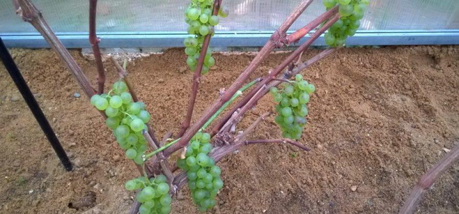 Как осенью правильно подготовить виноград к зиме