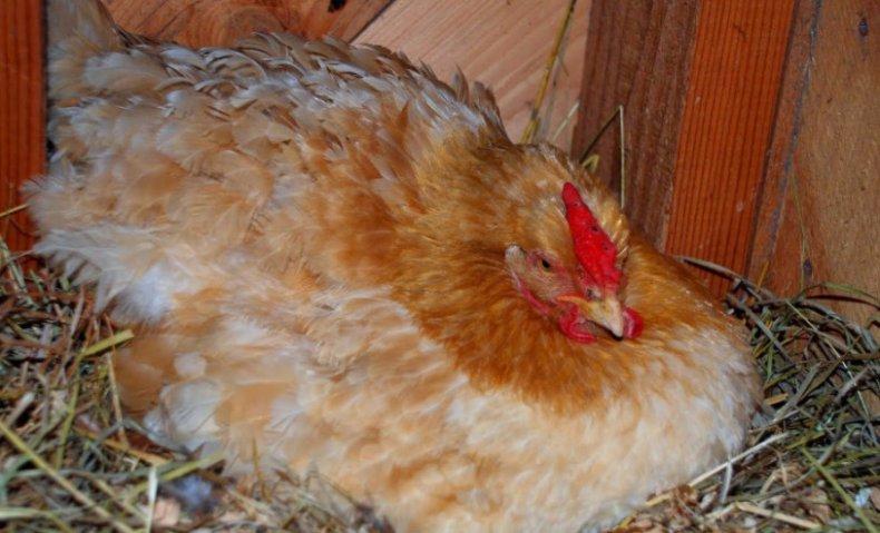 почему не несутся курицы