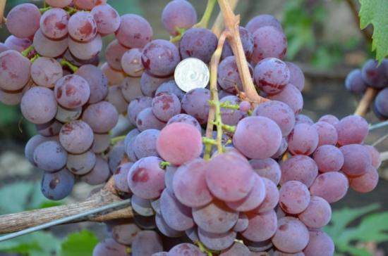 Виноград красохиной: описание и фото лучших сортов