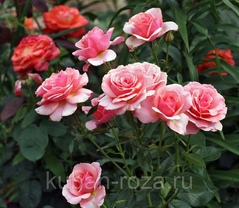 Роза | поэзия ароматов