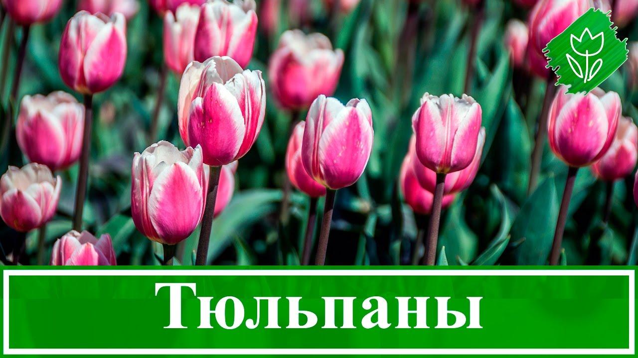 Как красиво посадить тюльпаны. красивые клумбы с тюльпанами