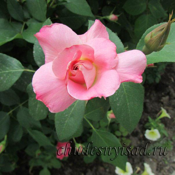 роза поэзия энциклопедия