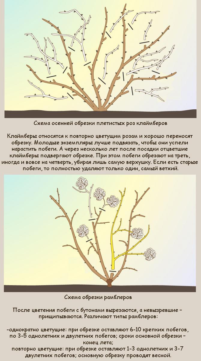 обрезка роз осенью на зиму