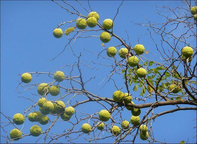 Маклюра – лечебные свойства: применение плодов адамова яблока