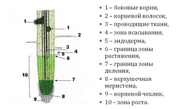 схема корня растения