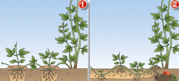 Размножение клематиса черенками и отводками