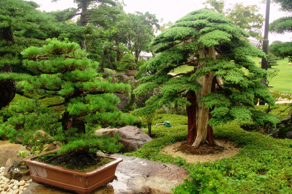 Дерево бонсай: виды дерева, особенности выращивания и ухода в домашних условиях