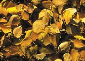 Уборка опавших листьев осенью: нужно ли убирать их в городе, как собирать с газонов, в саду, на даче, польза и вред для экологии, что делают с ними в европе?