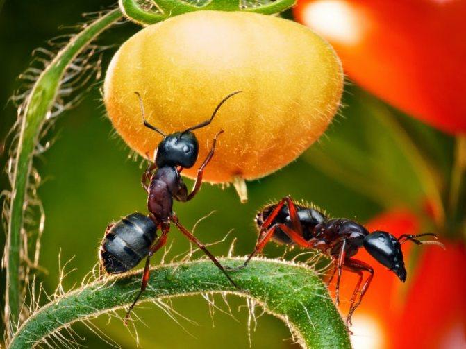 Как избавиться от муравьев в огороде раз и навсегда: средства