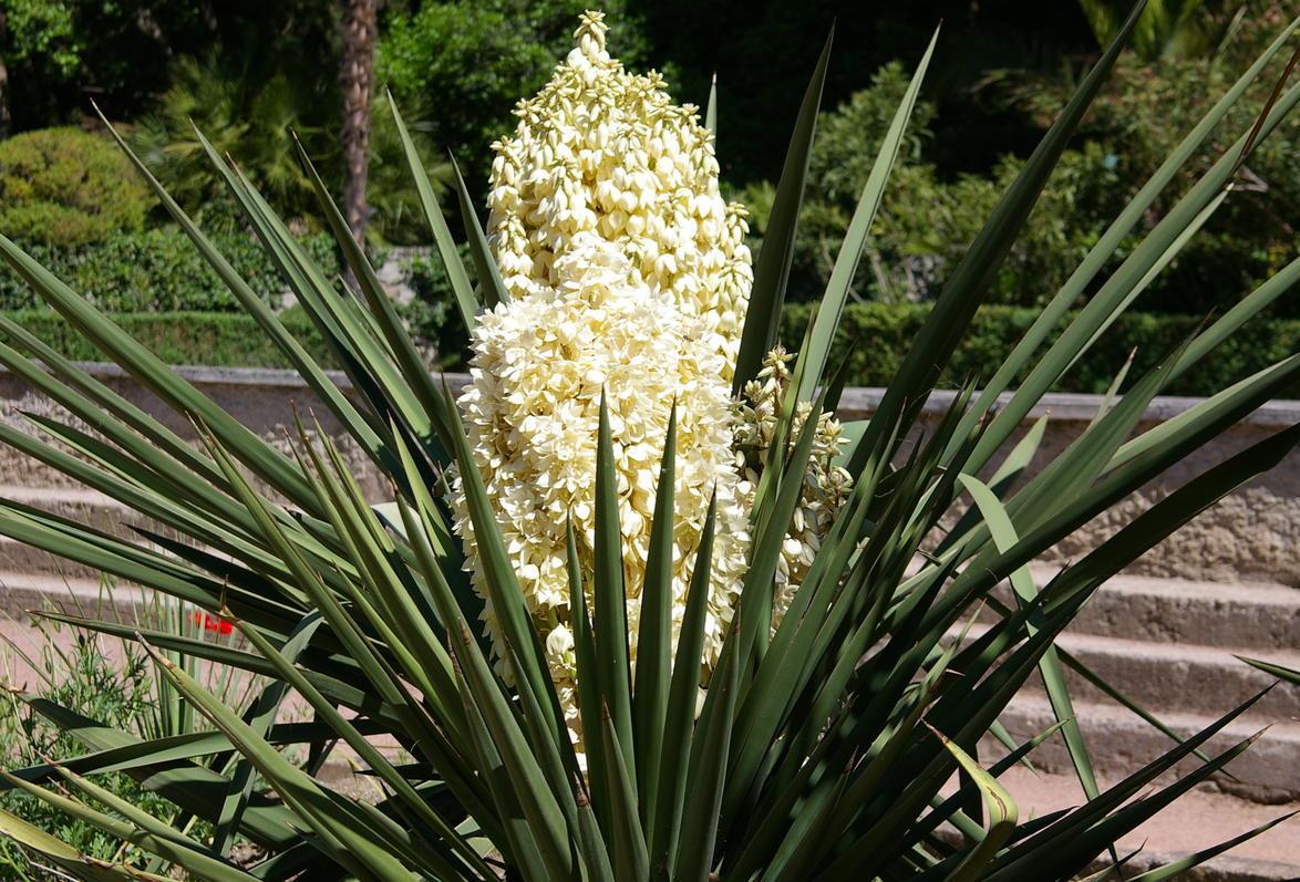 юка цветок