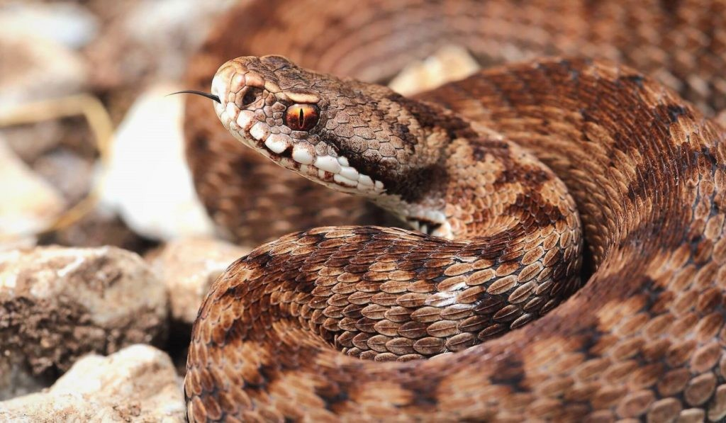 змея гадюка