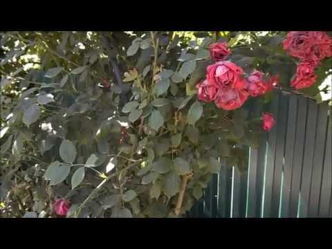 Как размножить плетистую розу — обзор основных методов