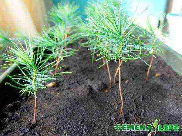 Как посадить и вырастить сосну из семян в домашних условиях