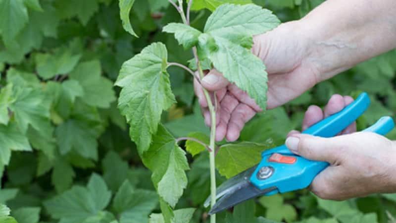 Черенкование черной смородины весной, летом, осенью - как правильно это делать