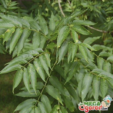 Ясень обыкновенный, или высокий - fraxinus excelsior | russianpermaculture.ru