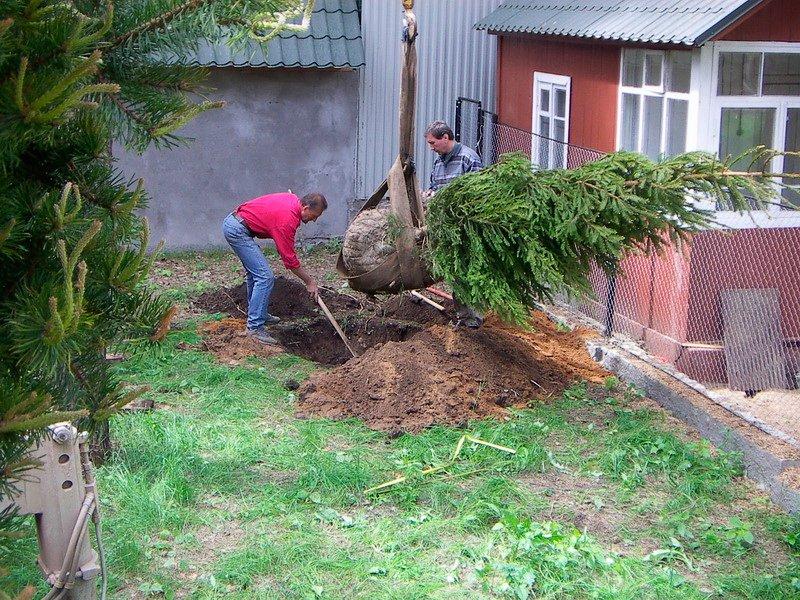 елка осенью