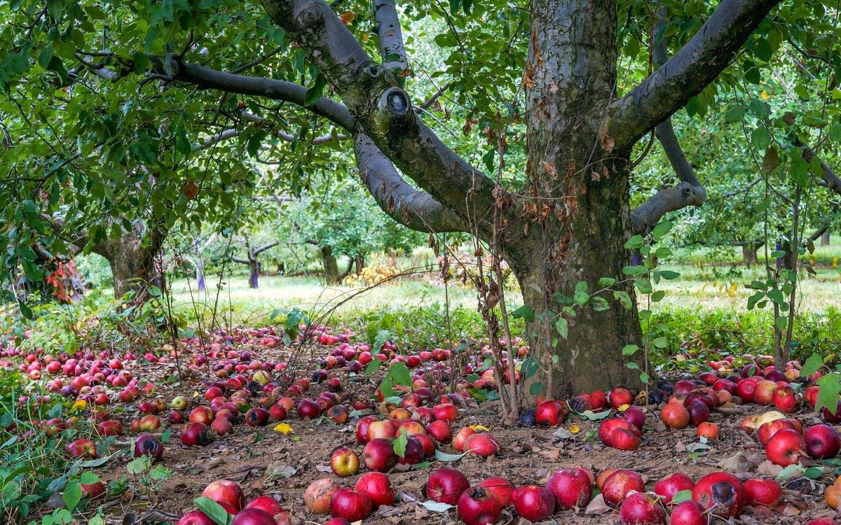 осенняя подкормка яблони