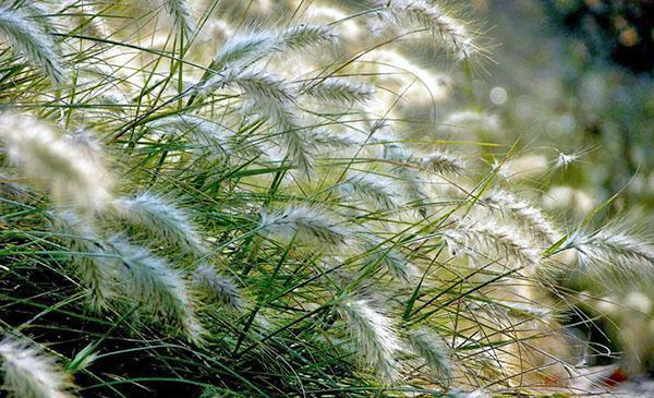 Декоративные травы и злаки, фото, названия