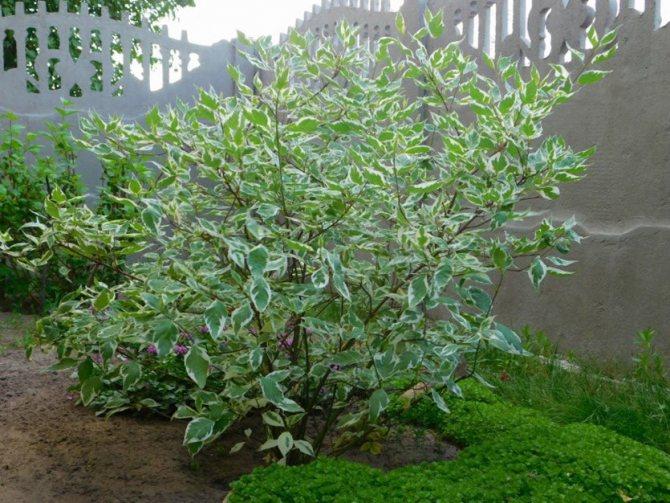 Кустарниковое растение дерен пестролистный: посадка и уход