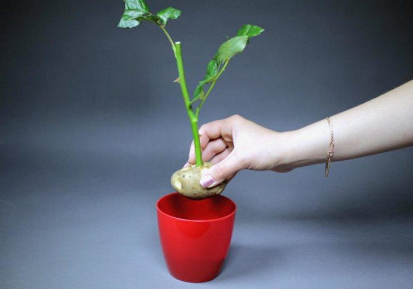 Способы черенкования роз из букета зимой