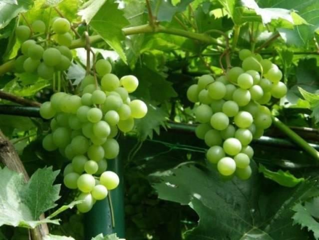 красохина виноград