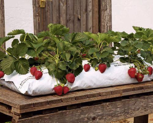 Выращивание в домашних условиях клубники круглый год на подоконнике