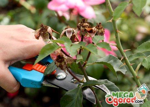 как обрезать розы под зиму