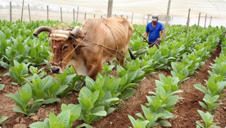 можно ли выращивать табак