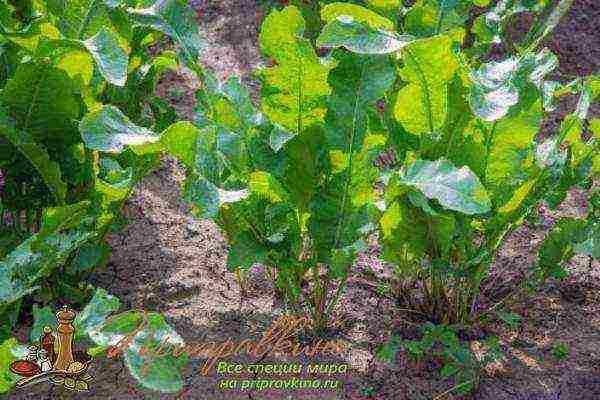 Хрен в огороде: посадка, выращивание, сбор и хранение